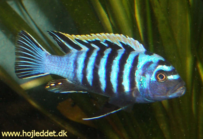 cynotilapia afra sp yellow top