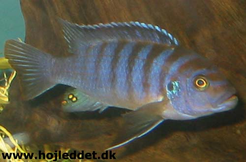 metriaclima sp zebra chilumba